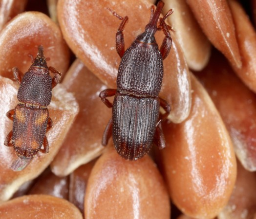 bugs in wheat and barley grain pest insect