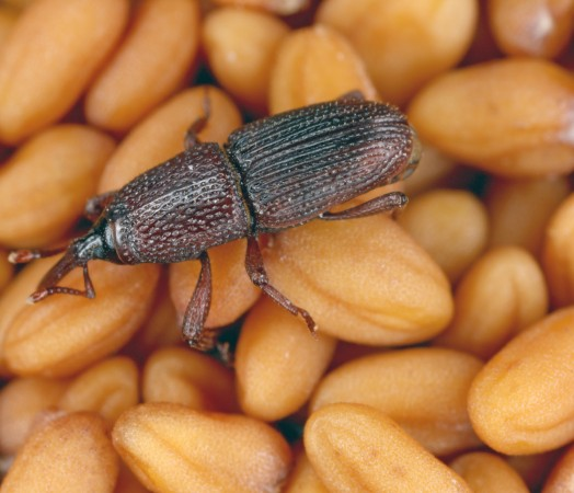 weevil insect bug infestation in grain causes rejection of grain
