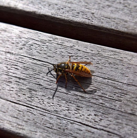 Wasps often nibble at wooden tables in the garden to use the mashed timber for their paper nests