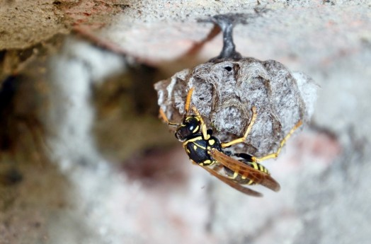 Queen wasp nests are smaller than normal, only reaching a golf ball size. This is her bedsit before she builds a wasp mansion