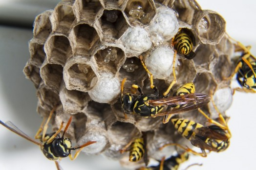 wasp nests are very beautiful and the empty nests are quite harmless. A wasp nest is great thing to show in school